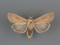 10438 Mythimna unipuncta male