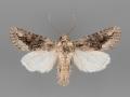 10555 Protorthodes argentoppida male
