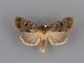 10591 Synorthodes typhedana male