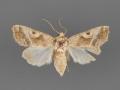 10601 Hexorthodes accurata female