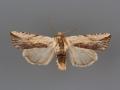 10615 Hypotrix diplogramma male