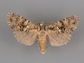 10622 Mimobarathra antonito male