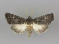 10626 Tricholita elsinora male