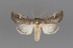 10631-Tricholita-chipeta