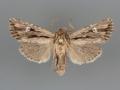 10632 Tricholita bisulca male