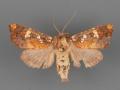 10637 Hydroecoides serrata female