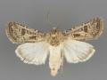10645 Agrotis orthogonia male