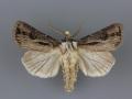 10651 Agrotis venerabilis male