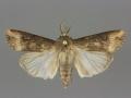 10663 Agrotis ipsilon male