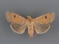 10667 Dichagyris triphaenoides