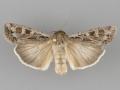 10731 Euxoa auxiliaris female