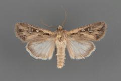 10741-Euxoa-olivia-male