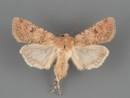 10744 Euxoa serricornis female