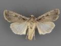10752 Euxoa pimensis-female