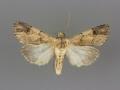 10869 Dichagyris grotei male