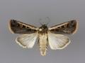 10878 Striacosta albicosta male