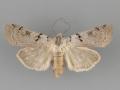 10882 Richia parentalis female