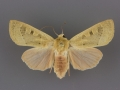 10885 Dichagyris madida female