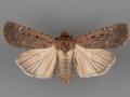 10926.1 Spaelotis bicava female