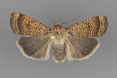 11029.1 Abagrotis mexicana male