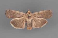 11029.2 Abagrotis forbesi female