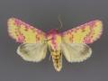 11066 Psectrotarsia suavis male