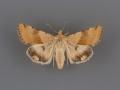 11072 Heliothis phloxiphaga