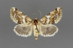 11180-Schinia-argentifascia-female
