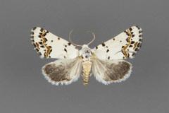 11222-Grotella-tricolor-male