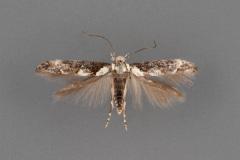1448-Mompha-murtfeldtella-male-ii-193