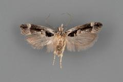 1862-Pseudochelaria-pennsylvanica-male