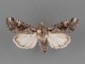 10406.7-Lacinipolia-rodora-male