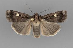 11019 Abagrotis mirabilis male
