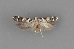2095.8 Chionodes obex female