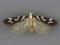 2129 Filatima albilorella male 2