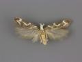 2129 Filatima albilorella male