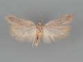 2176 Filatima striatella male 2