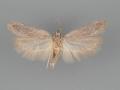 2176 Filatima striatella male 2