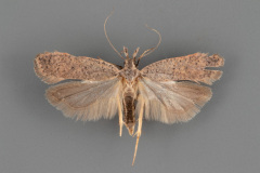2277-Dichomeris-georgiella-male