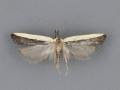 2290 Dichomeris barnesiella male