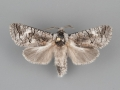 2691 Fania nanus male