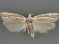 2973 Eucosma striatana male