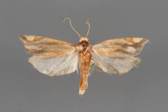 3014-Pelochrista-ridingsana-male