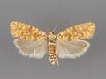 3067 Eucopina bobana female