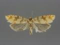 3070 Eucopina franclemonti female