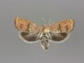 3494 Cydia latiferreana male