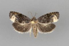 3495.3-Ecdytolopha-nigrita-female