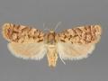 3647 Choristoneura houstonana female