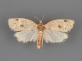 3687.1 Clepsis anderslaneyii male