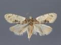 3797 Henricus edwardsiana male